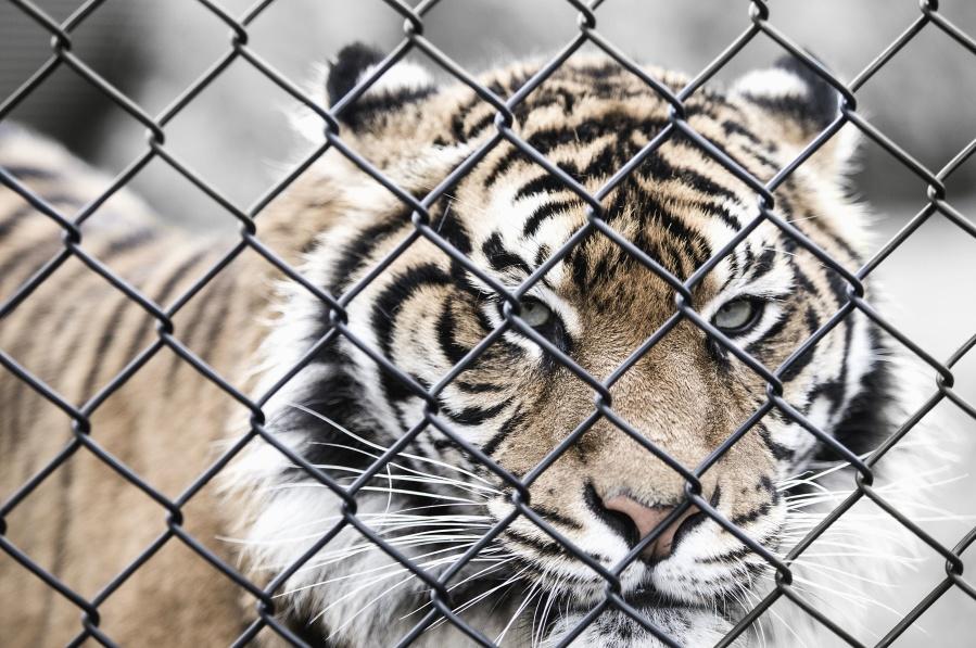 tigre cage