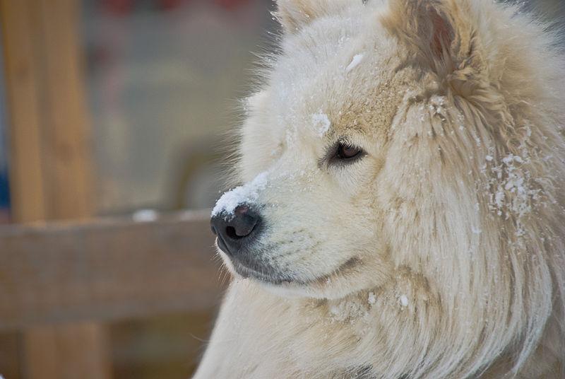 chien samoyède
