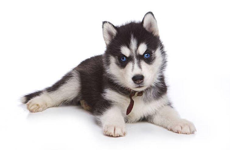 Alaskan Klee Kai 5 Choses à Savoir Sur Ce Husky Miniature