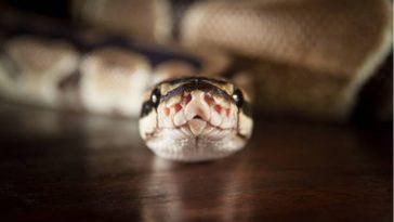 python serpent