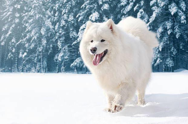 chien samoyede