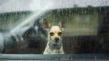 chien chihuahua triste