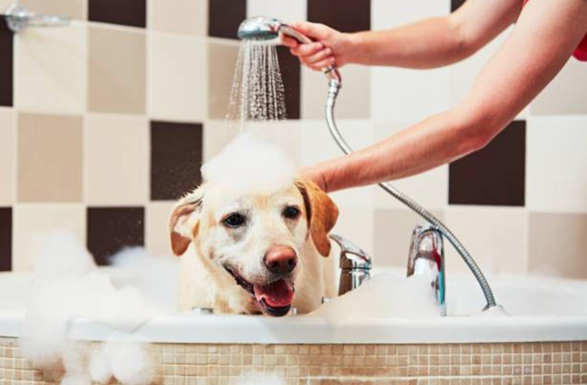 chien bain douche shampooing