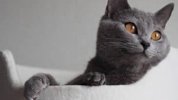 chat chartreux