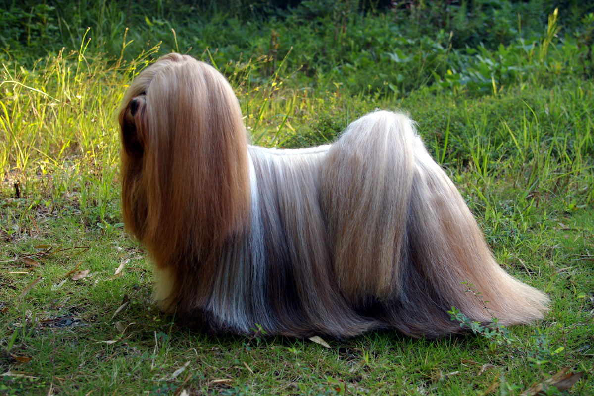 chien Lhassa Apso