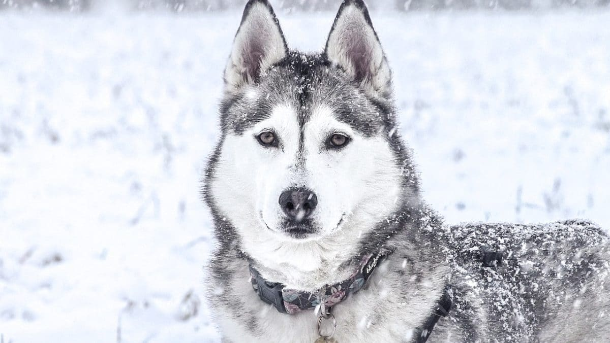 chien husky neige froid hiver