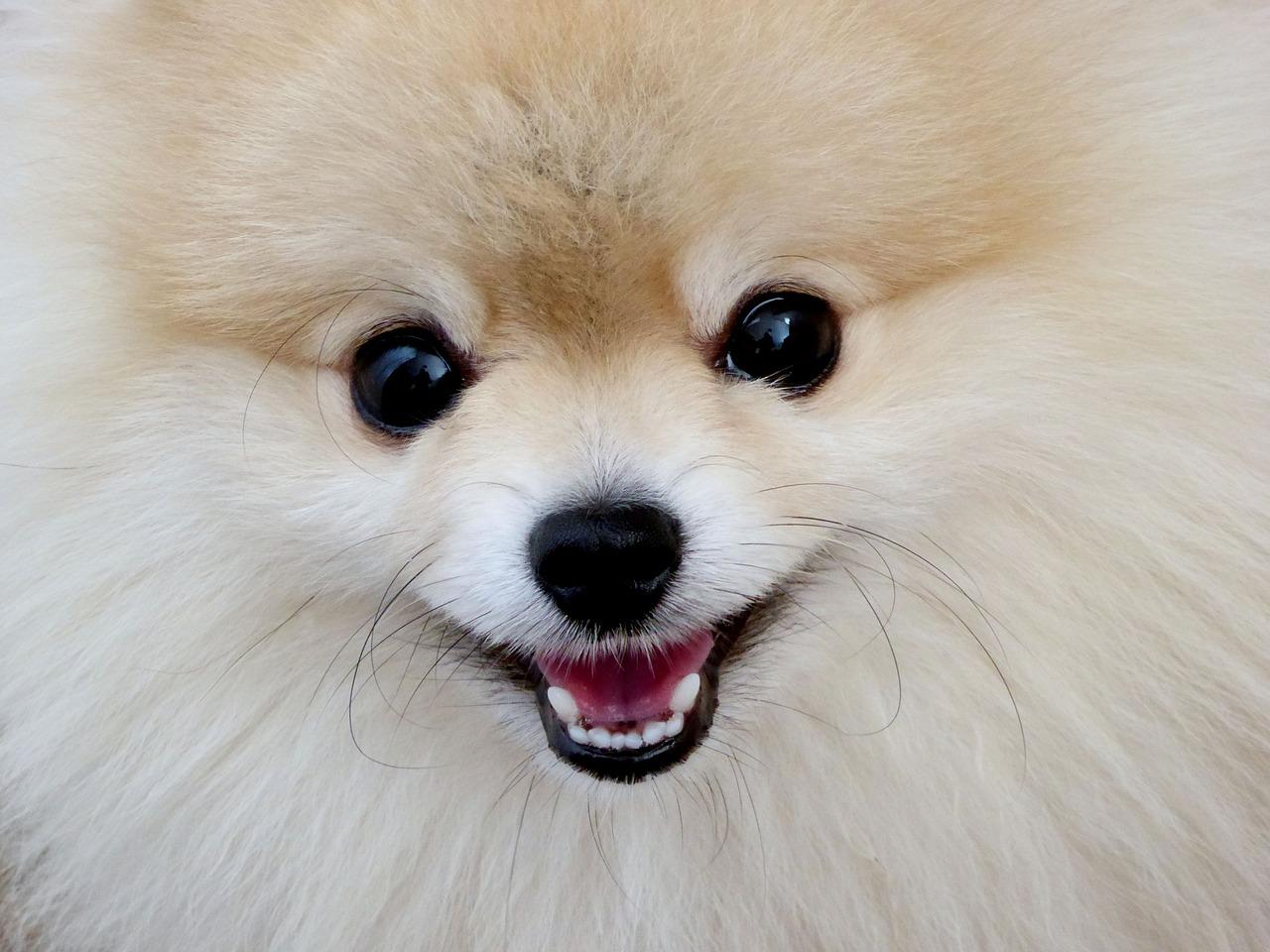 chien loulou de poméranie