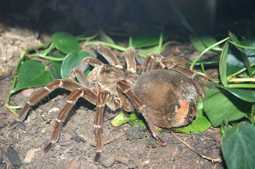 araignée goliath