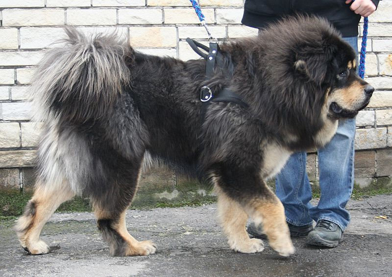 chien dogue du tibet