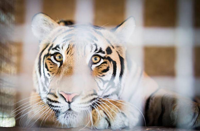 tigre cage enfermé