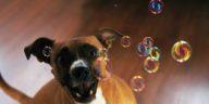 chien bulles joue
