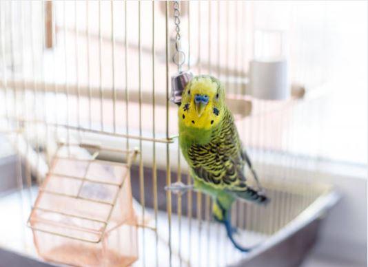oiseau perruche cage