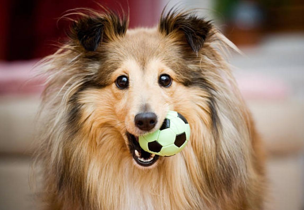 chien berger des shetland jouet balle