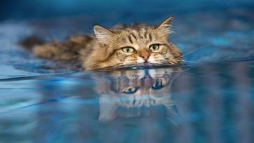 chat nage eau