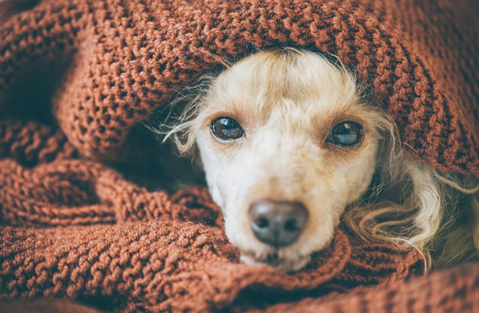 chien couverture