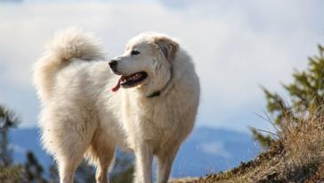 patou chien de montagne des pyrénées