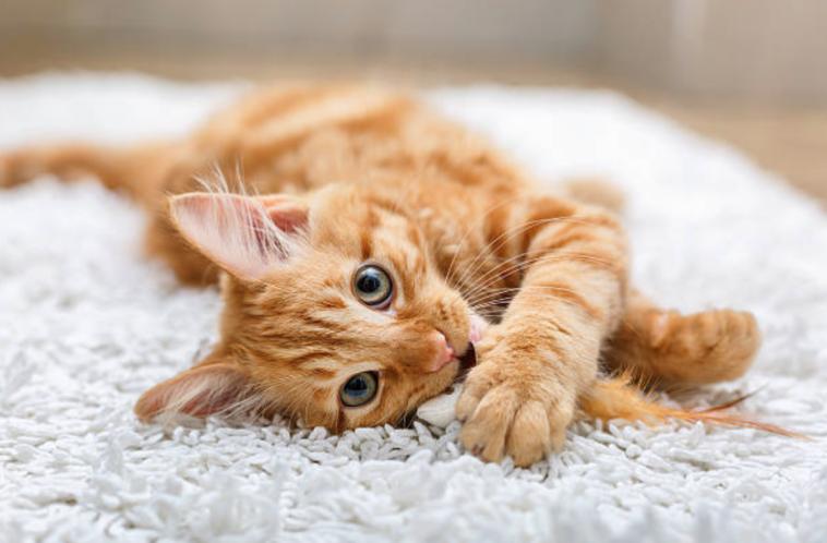 chat roux jouet