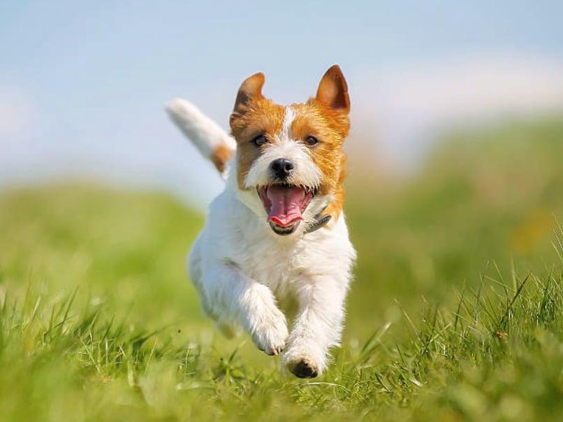 chien court heureux