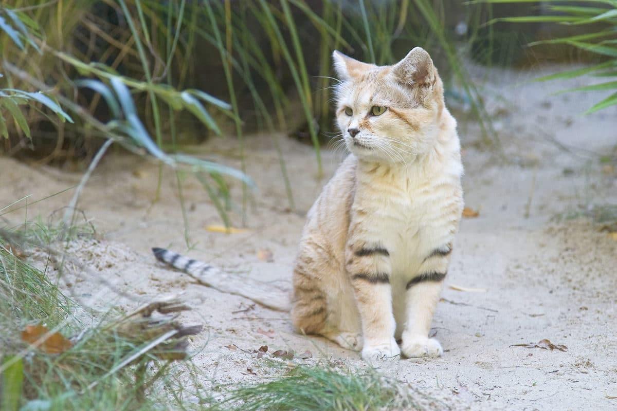 chat des sables