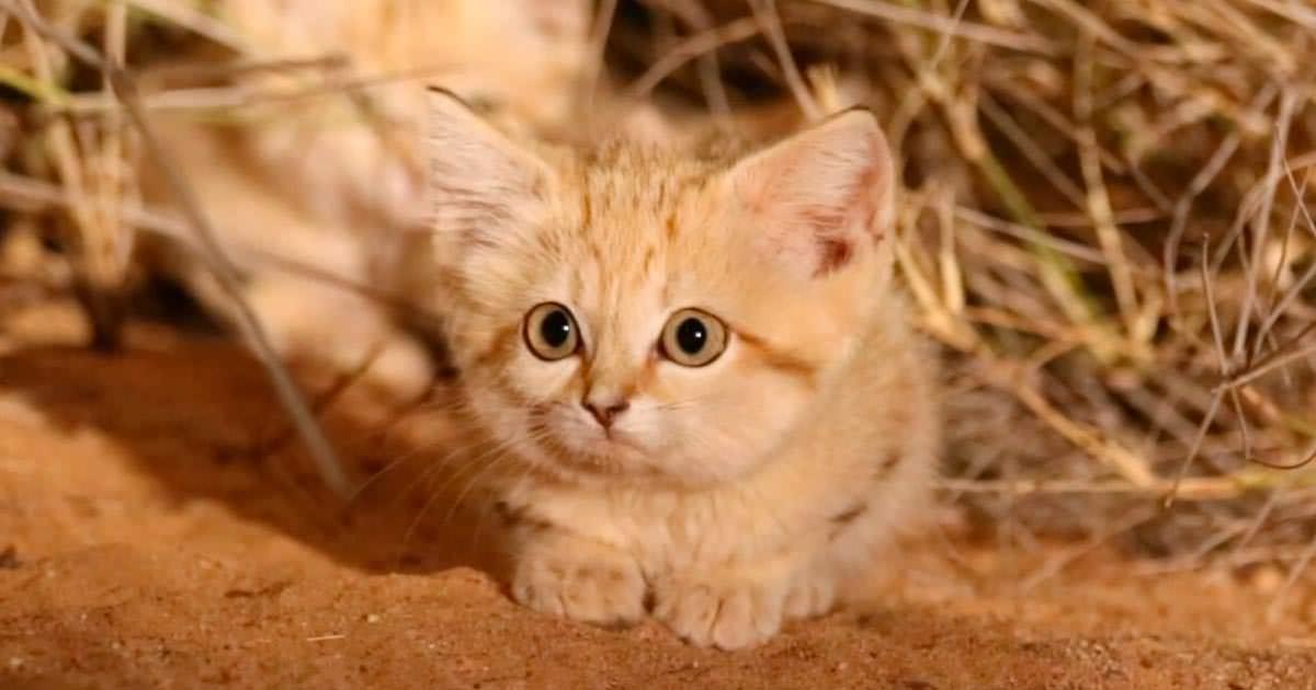 chaton des sables
