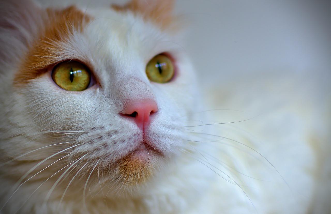 chat turc de van