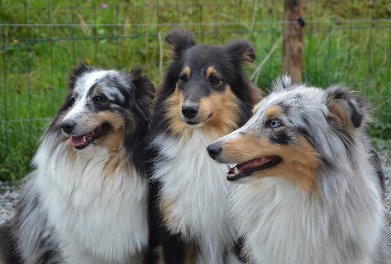 5 choses à savoir sur le Berger des Shetland - Animalaxy