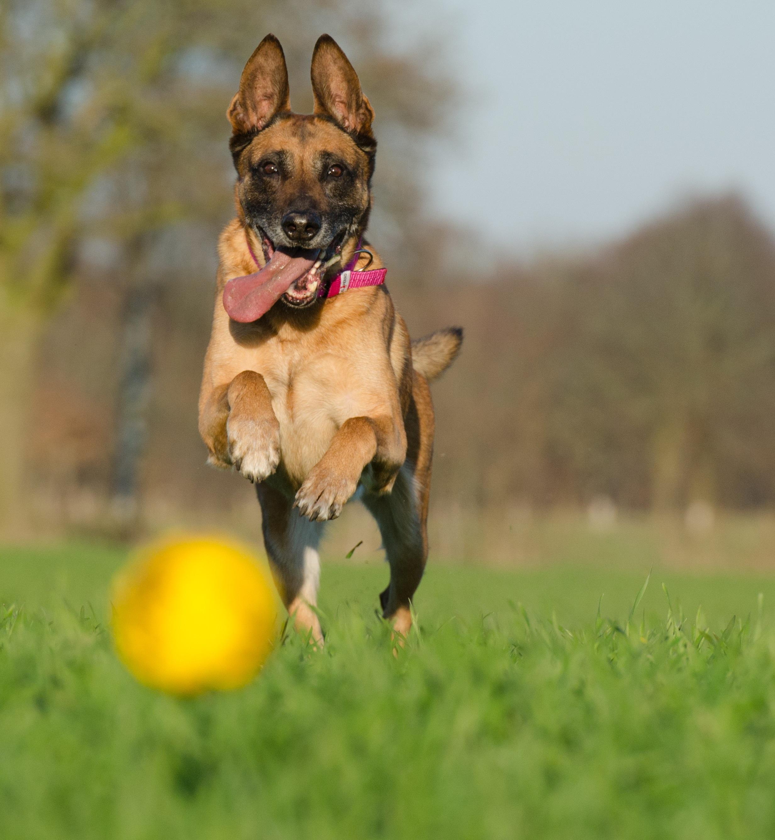 chien berger allemand balle