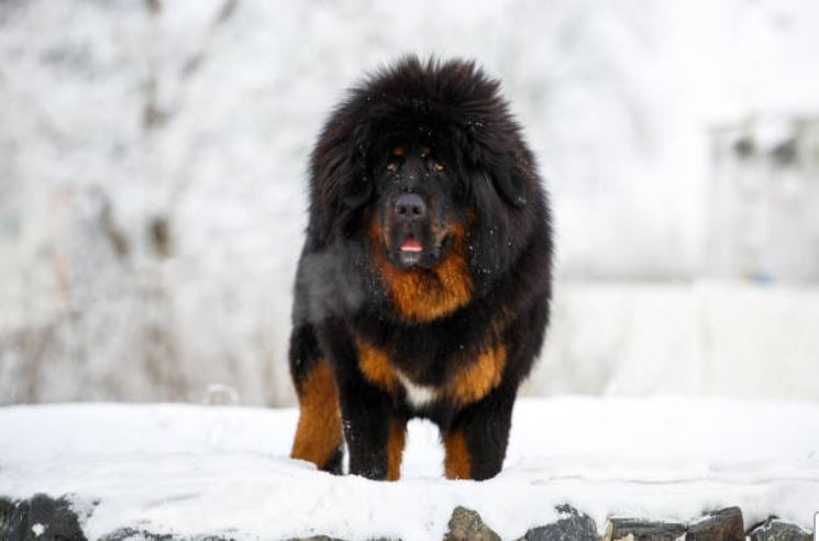 Le Dogue du Tibet : chien impressionnant et forte tête ! 1