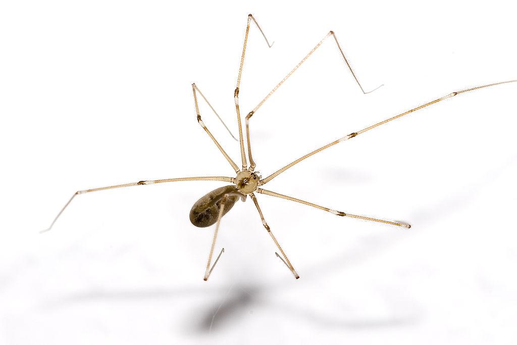 araignée pholque