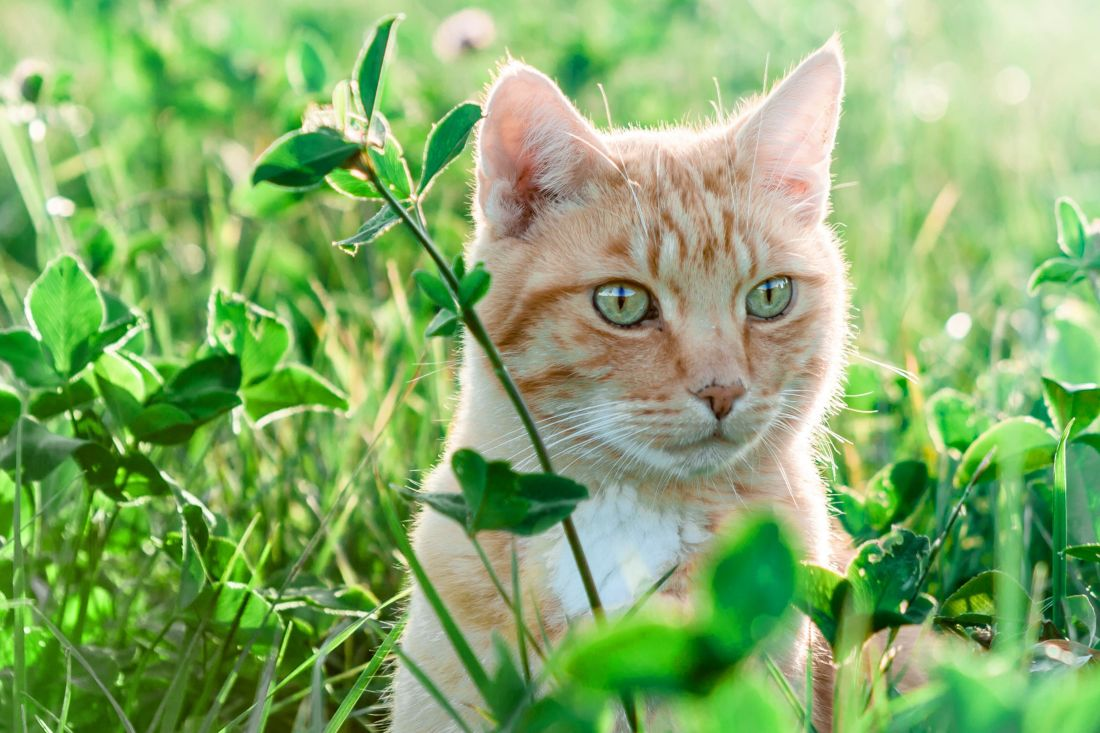 chat herbe