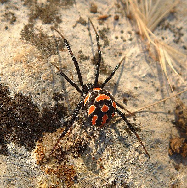 araignée Malmignatte