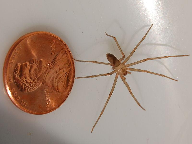 araignée Loxosceles reclusa
