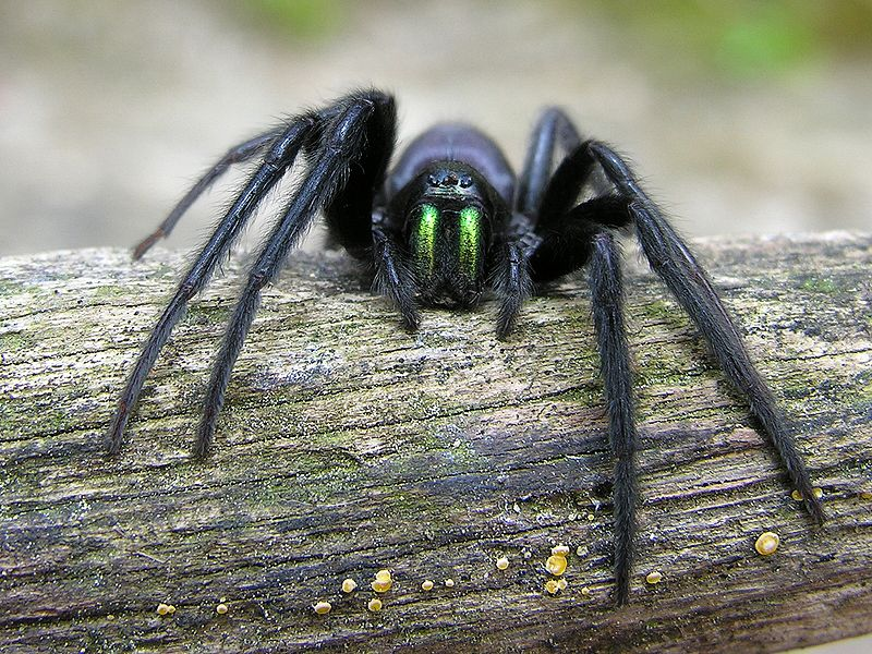 araignée Ségestrie florentine