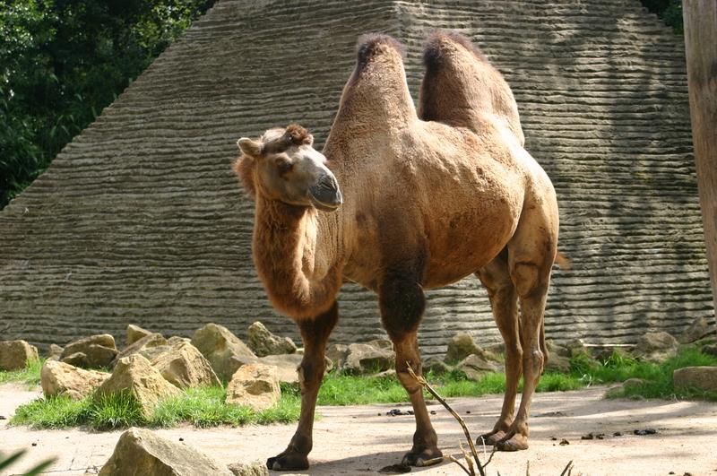 chameau