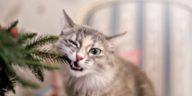 chat mange sapin noel plante