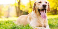 chien labrador heureux halète couché herbe