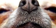 chien truffe nez