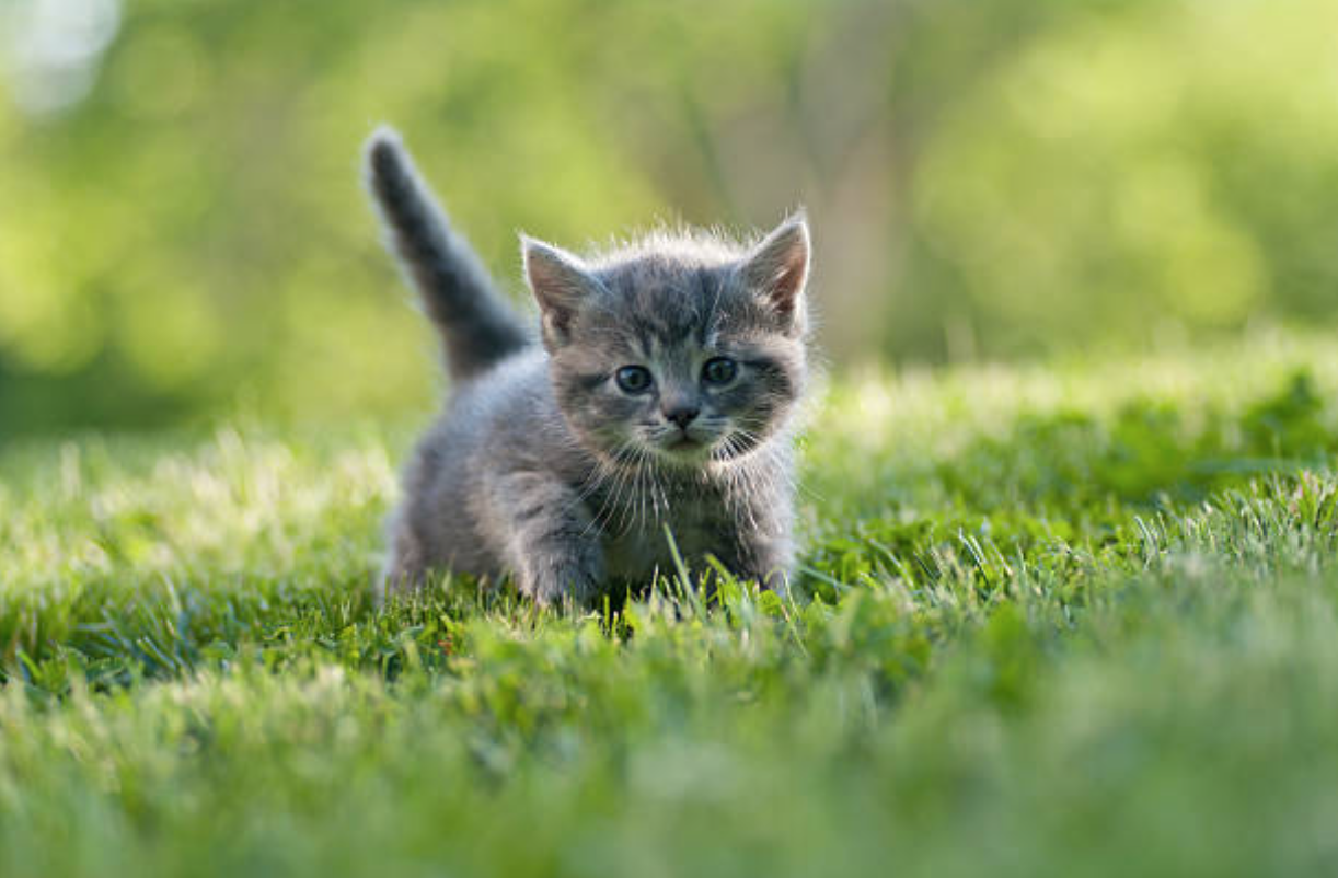 chaton herbe