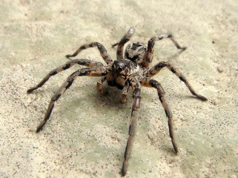 araignée Lycose de Narbonne