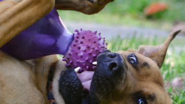 chien boxer joue heureux