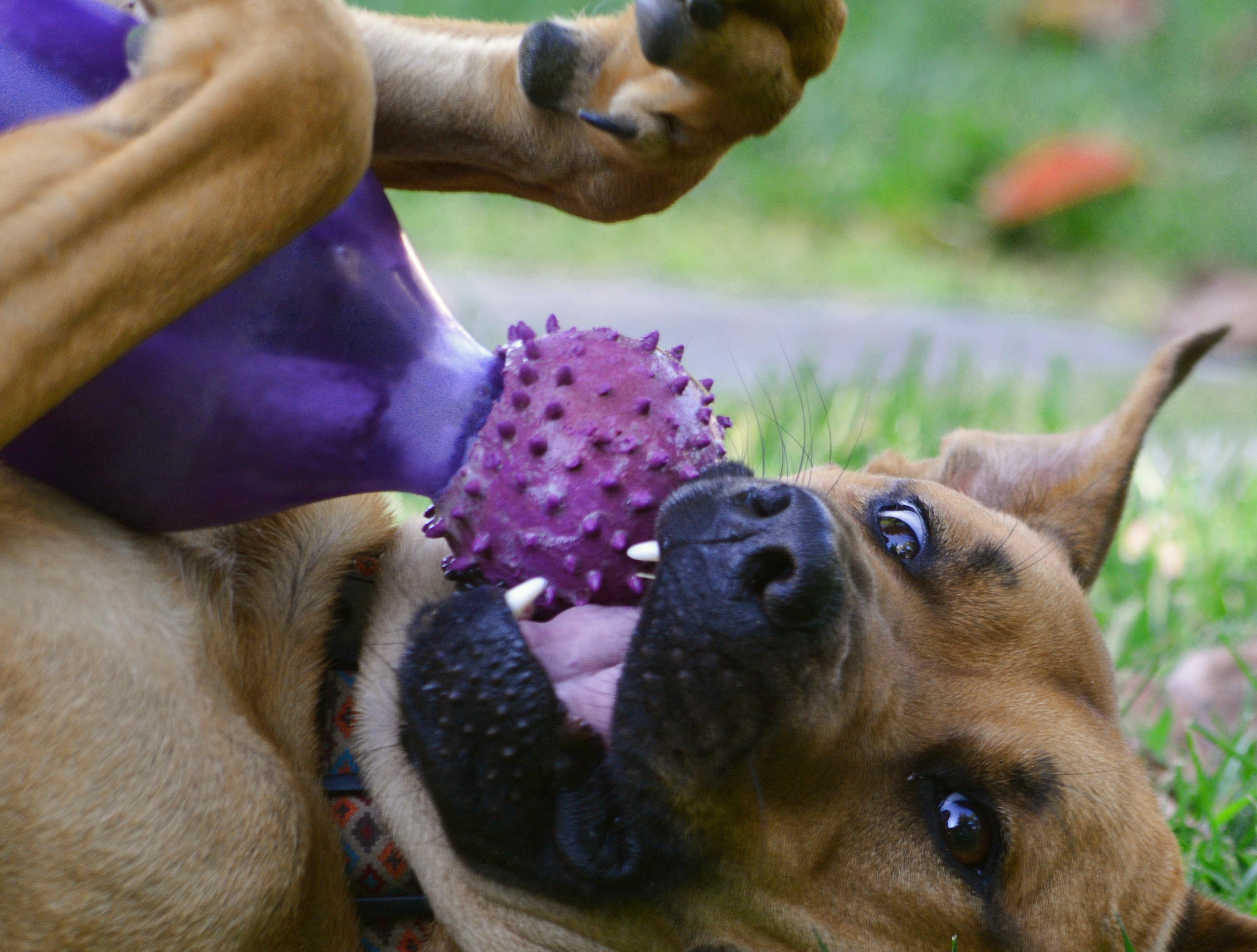 chien boxer joue
