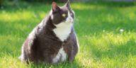 chat gros obèse