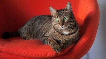 chat couché fauteuil rouge