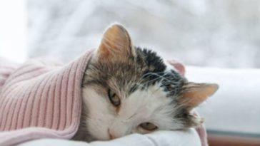 chat couverture couché malade
