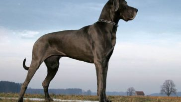 chien grand danois dogue allemand
