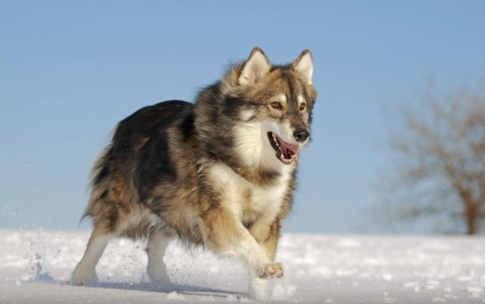chien Utonagan