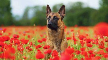 chien berger belge malinois