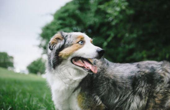 chien berger australien peur stress