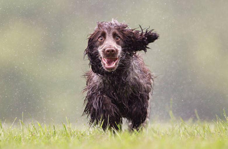 chien court pluie