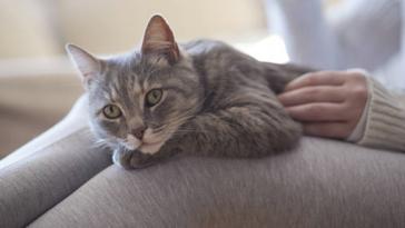 chat câlin femme genoux humain